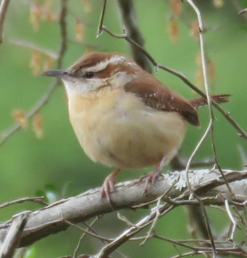 Carolina Wren in profile.