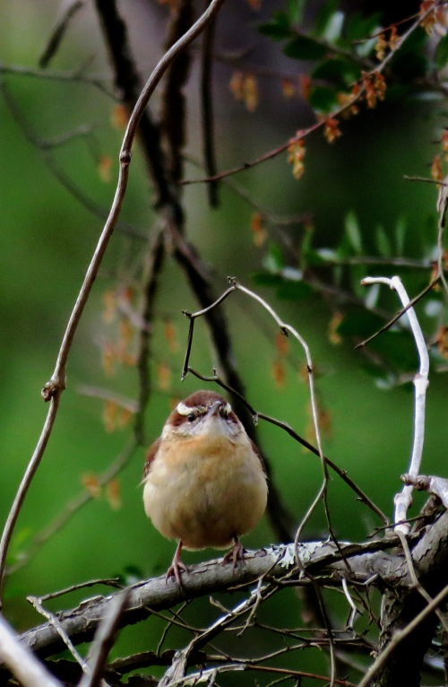 Carolina wren with vines