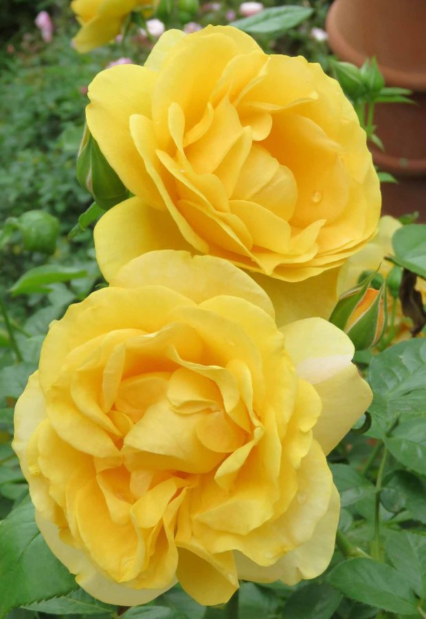 yellow roses 1