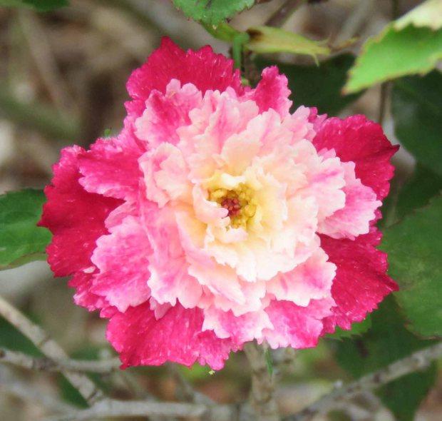multi color rose