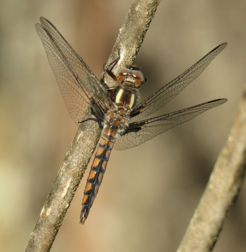 Blue corporal Dragonfly, juvenile male.