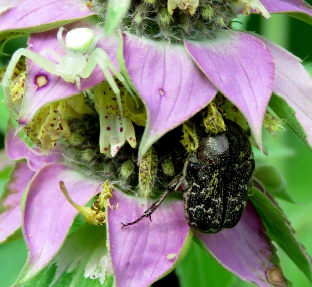 Crab spider and bumble flower beetle on monarda flower.
