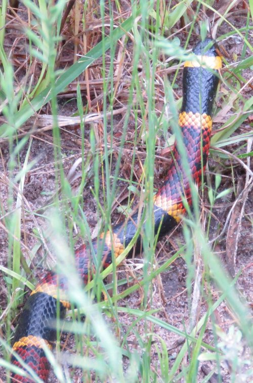 This coral snake was out in the middle of the pasture in broad daylight.  I did not have the usual thundering herd with me, so I caught it unaware.