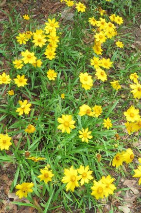 This coreopsis grew along my road this spring.