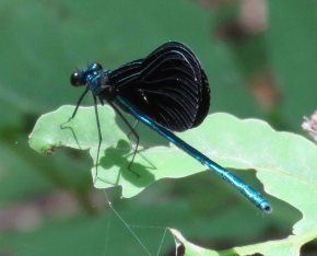 These black-winged damselflies were out in abundance.