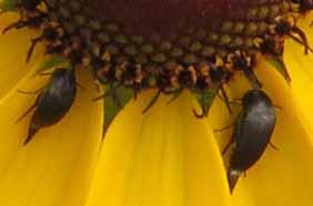Two tiny beetles on a rudbeckia.