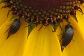 Two tiny beetles on a rudbeckia.
