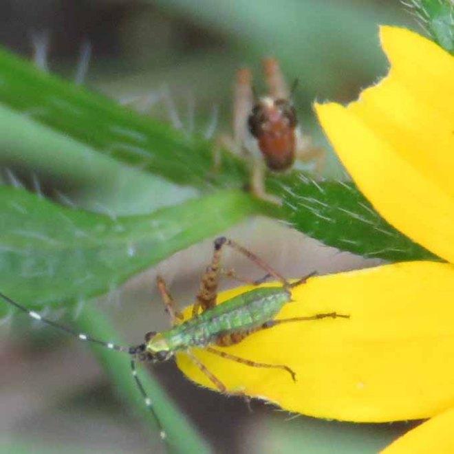 Two grasshopper nymphs?