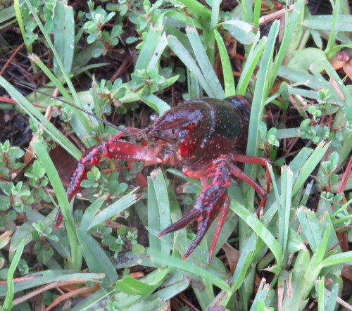 This feisty crawfish showed up in the backyard this morning.