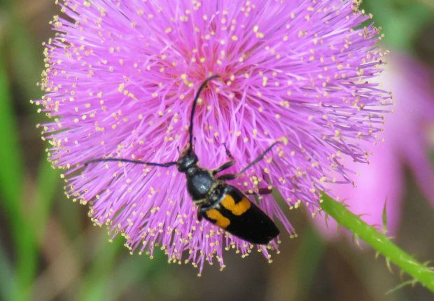 Texas Crescent Longhorn beetle, Typocerus lunulatus texanus, on a powderpuff flower, Mimosa strigillosa