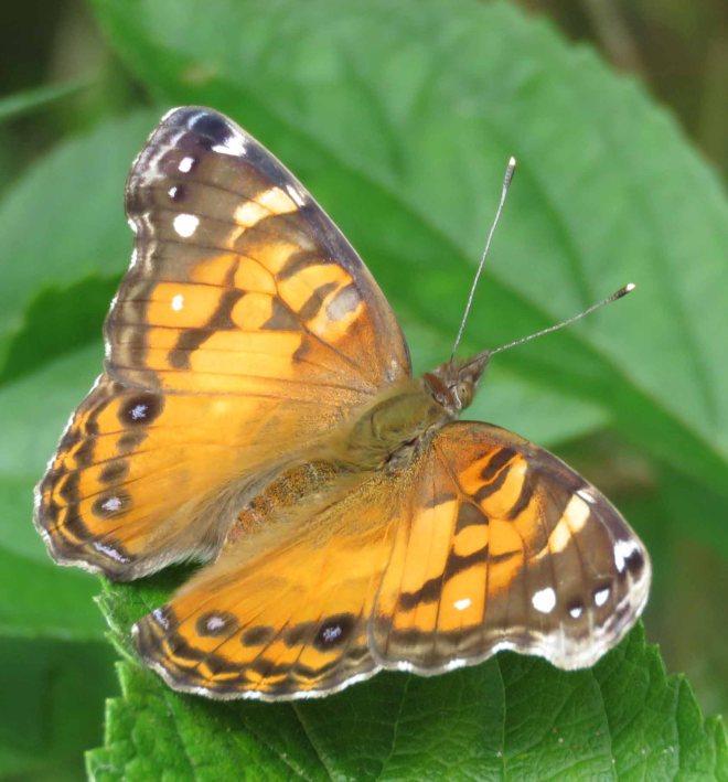 American painted lady butterfly, Vanessa virginiensis