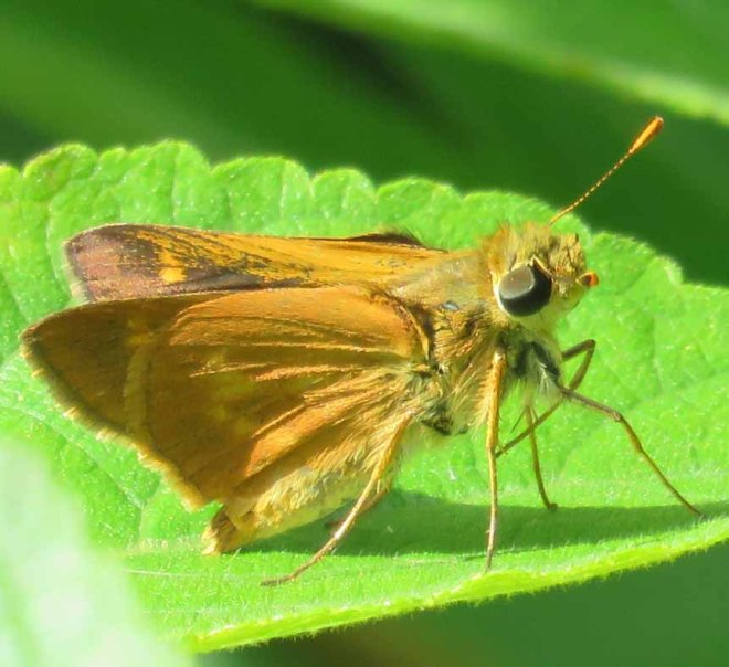 Southern Broken Dash butterfly, Wallengrenia otho