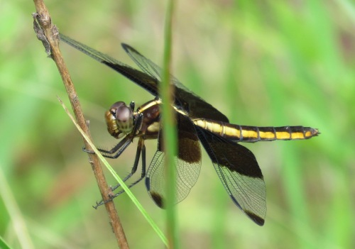 Widow Skimmer, female.