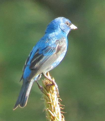 Indigo Bunting in the sunlight.