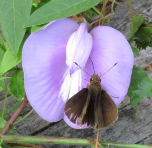 Butterfly pea and Dun Skipper
